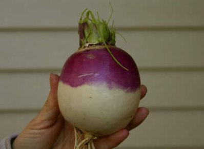 turnip-festivals
