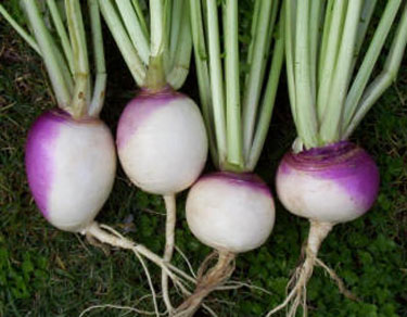 turnip-soil
